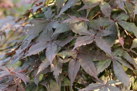 Acer palmatum 'Oriental Mystery'