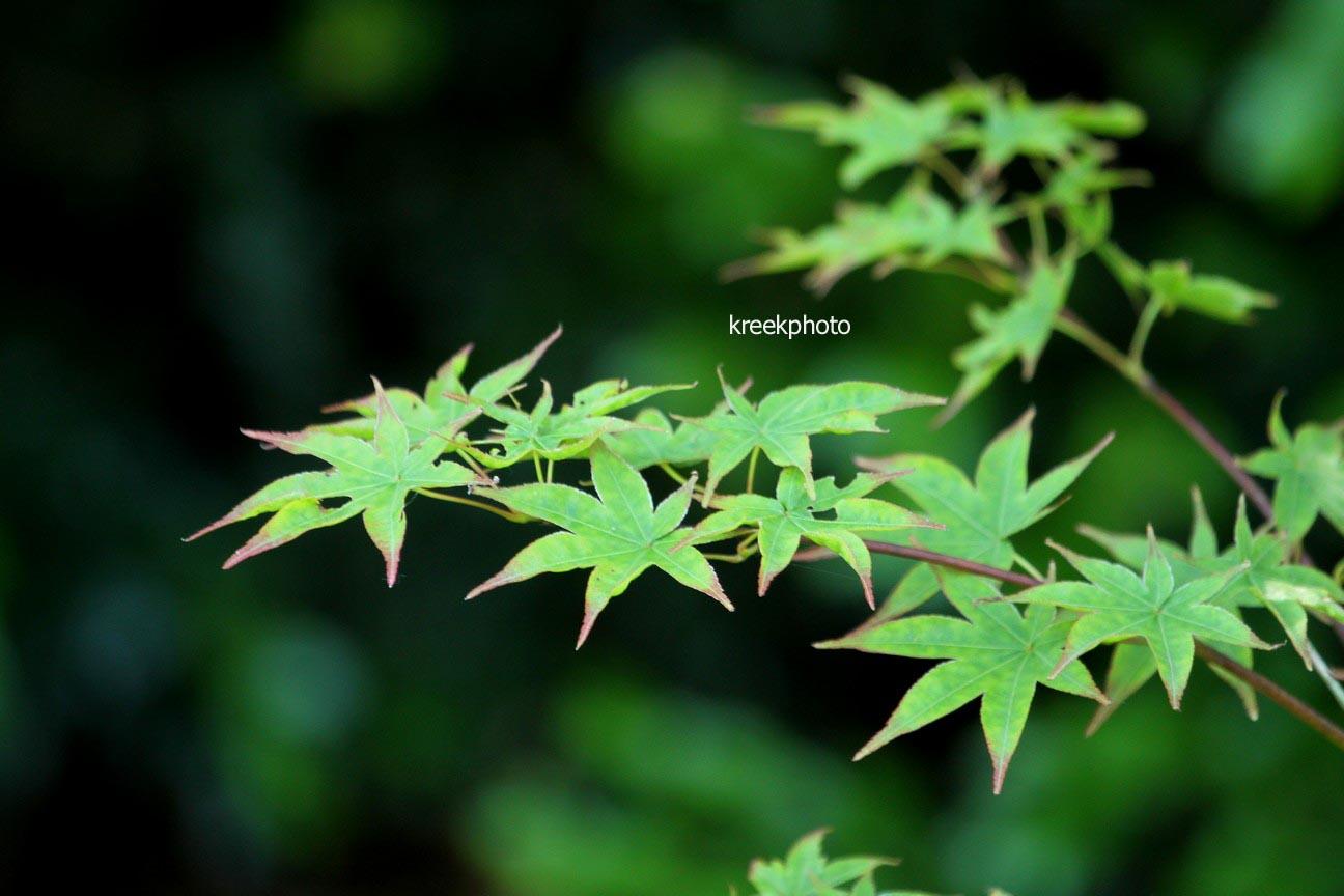Acer palmatum 'Saku'