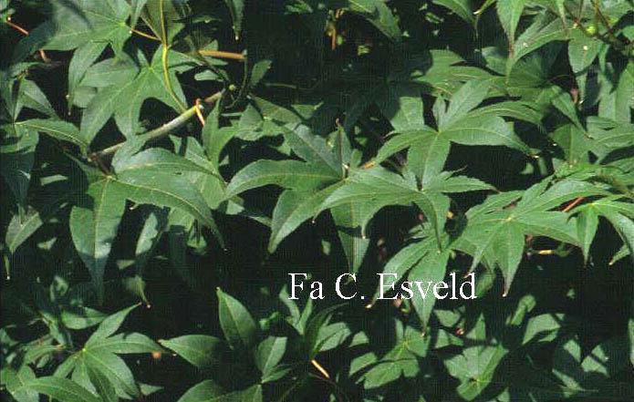 Acer palmatum 'Samidare'