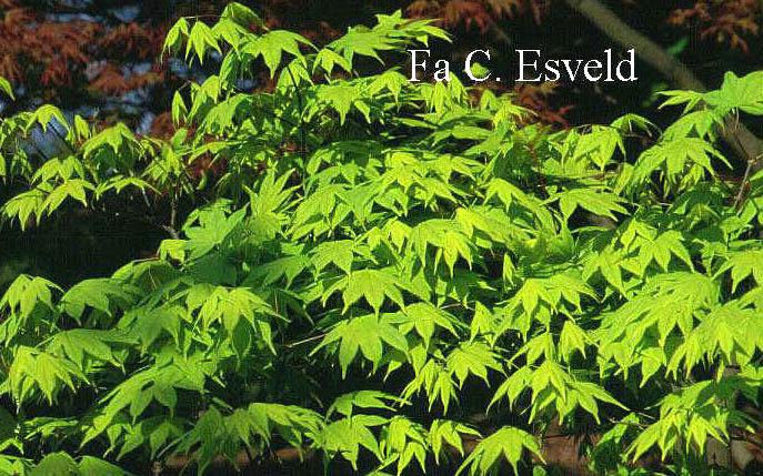 Acer palmatum 'Saotome'