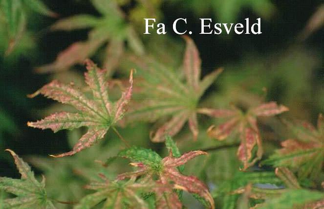 Acer palmatum 'Sawa-chidori'