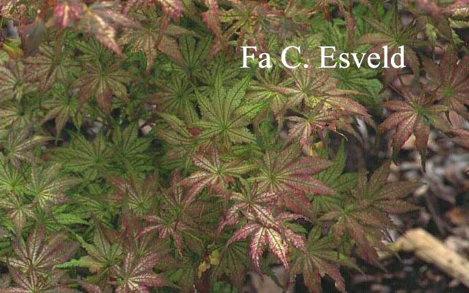 Acer palmatum 'Shigitatsu-sawa'