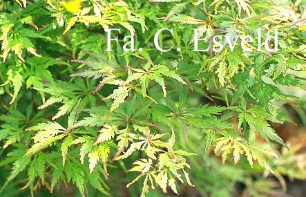 Acer palmatum 'Shigure-bato'