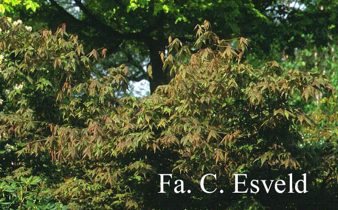 Acer palmatum 'Shigure-zome'