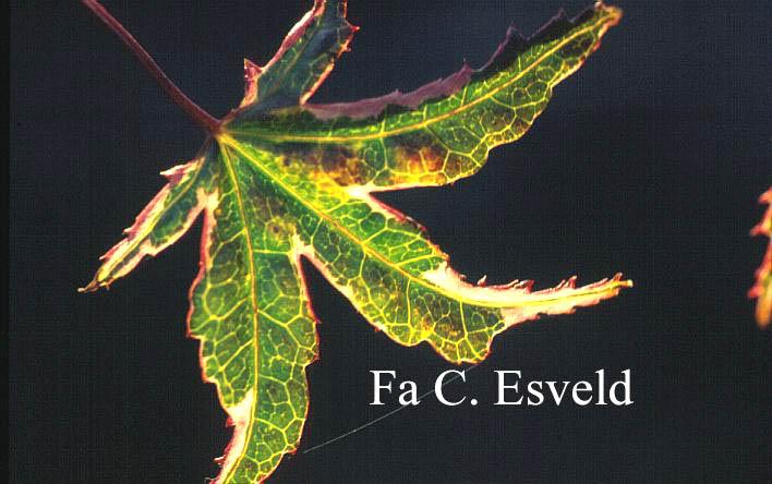 Acer palmatum 'Shohjoh-no-mai'