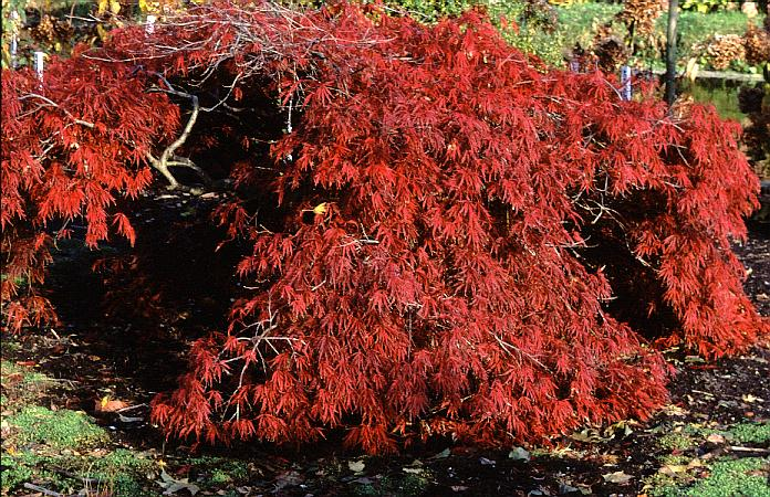 Acer palmatum 'Shojo-shidare'