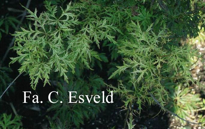 Acer palmatum 'Suisei'