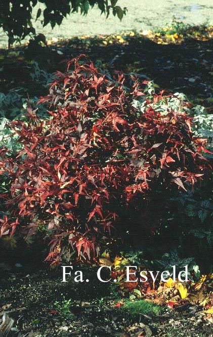 Acer palmatum 'Taroh-yama'