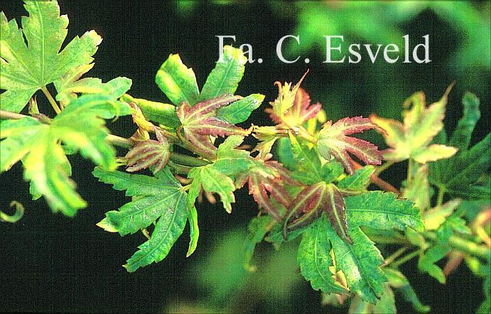 Acer palmatum 'Tiny Tim'