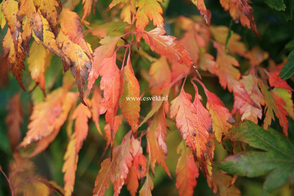 Acer palmatum 'Tsukuma-no'