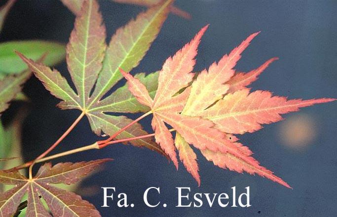 Acer palmatum 'Unebi'