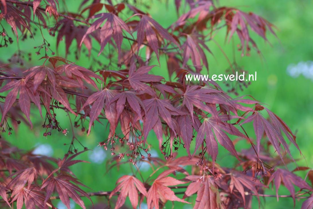 Acer palmatum 'Vandermoss Red'