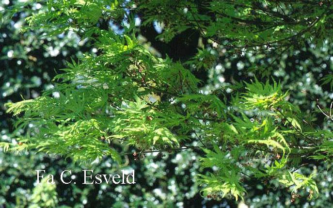 Acer palmatum 'Volubile'