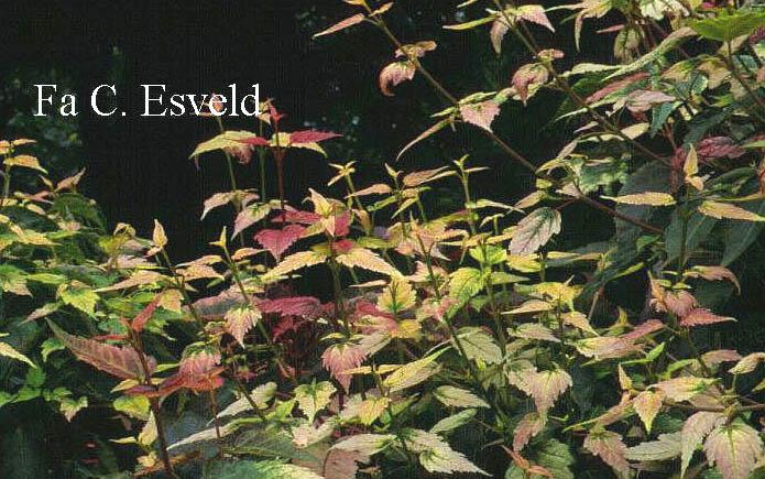Acer pectinatum 'Alice'