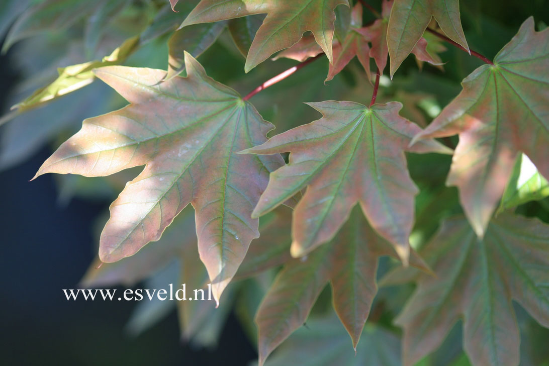 Acer platanoides 'Holata'
