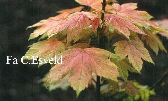 Acer pseudoplatanus 'Leat's Cottage'