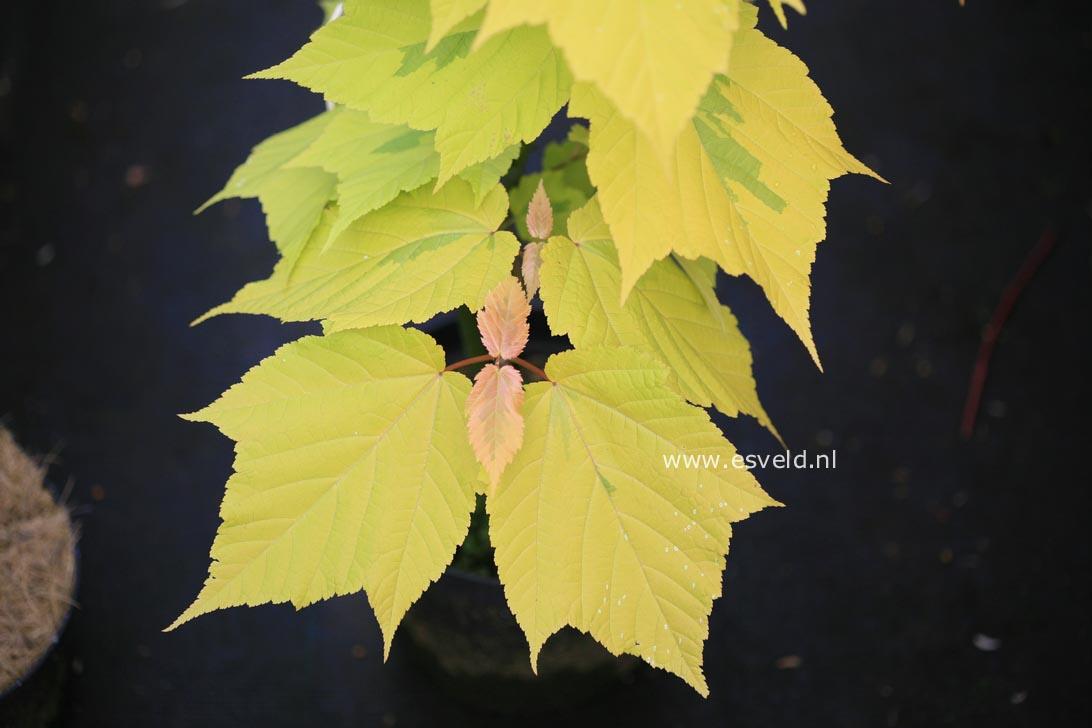 Acer rufinerve 'Sunshine'