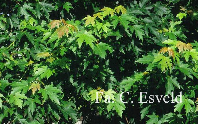 Acer saccharinum 'Pyramidale'