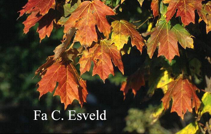 Acer saccharum 'Louisa Lad'