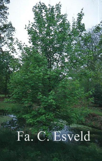 Acer saccharum ssp. grandidentatum