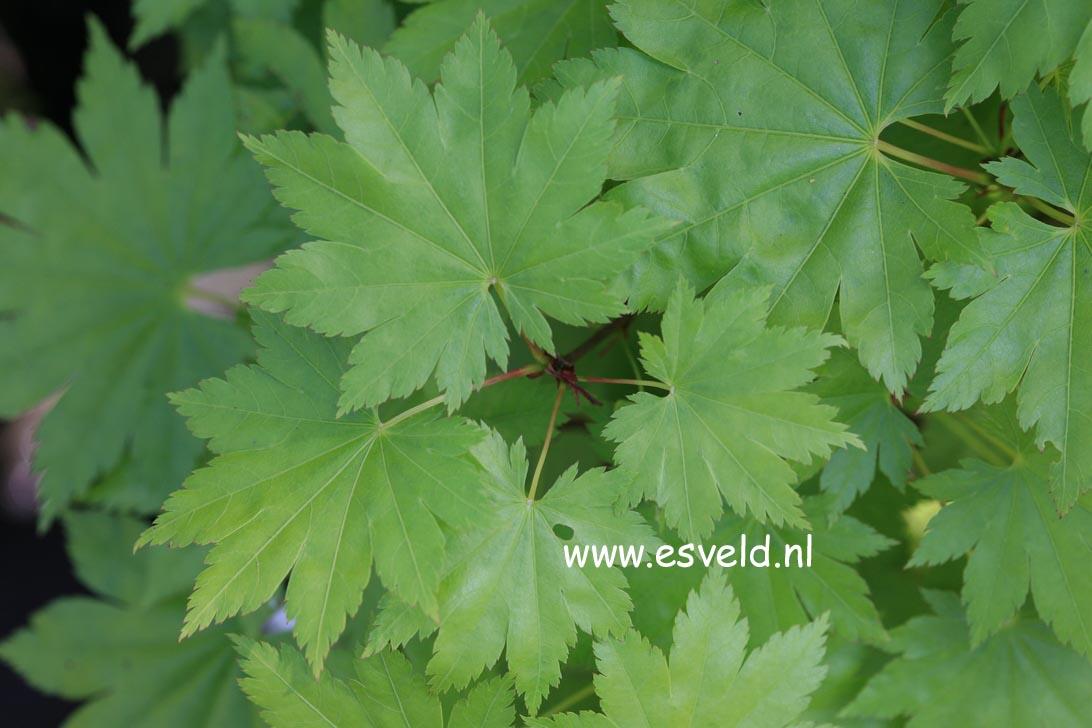 Acer shirasawanum 'Nikko'
