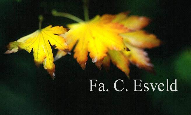 Acer shirasawanum 'Tenuifolium'