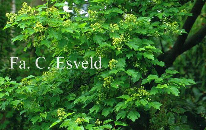 Acer tataricum ssp. aidzuense