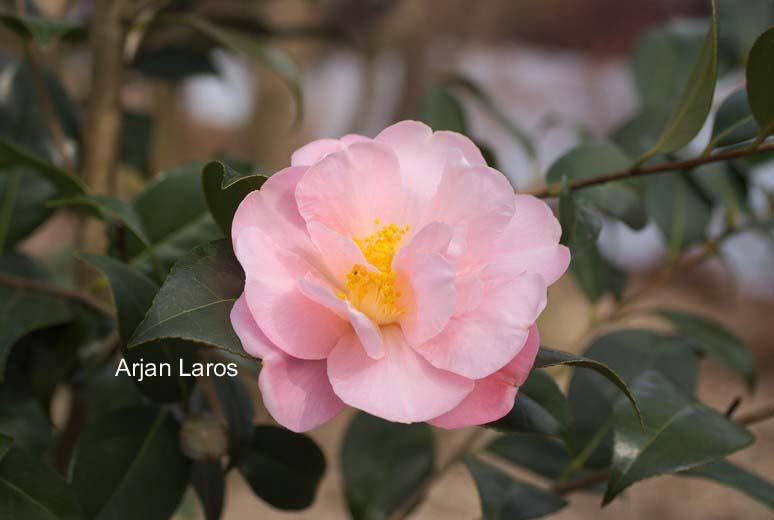 Camellia 'Arctic Dawn'