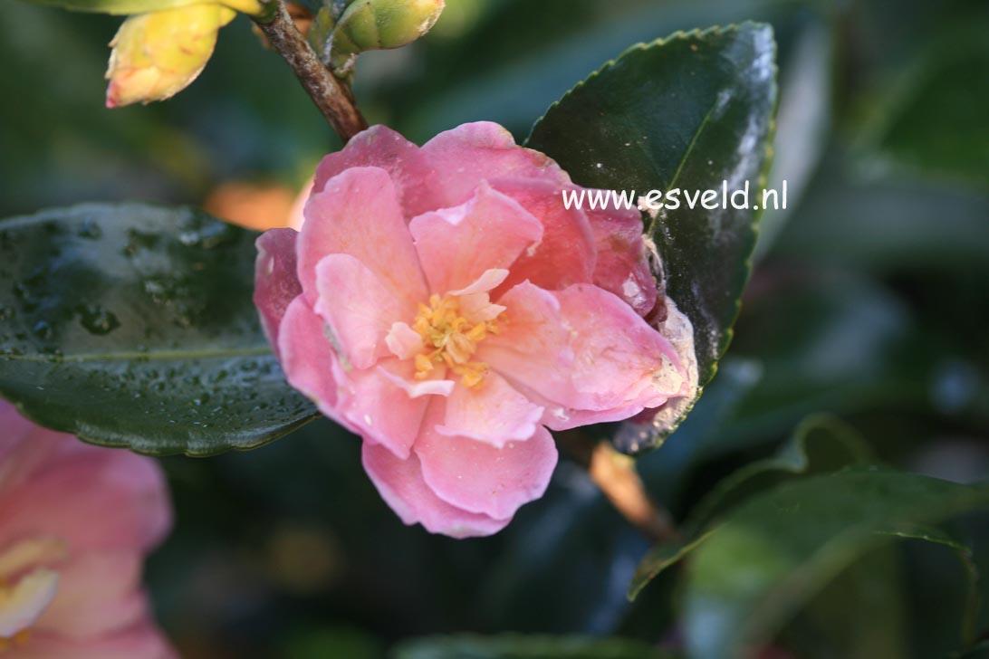 Camellia 'Ashton's Ballet'