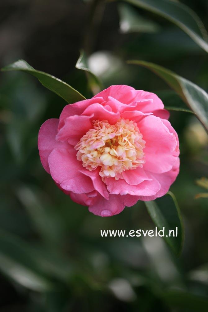 Camellia 'Sugar Dream'