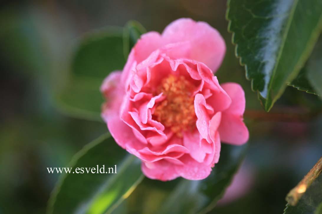 Camellia 'Winter's Joy'
