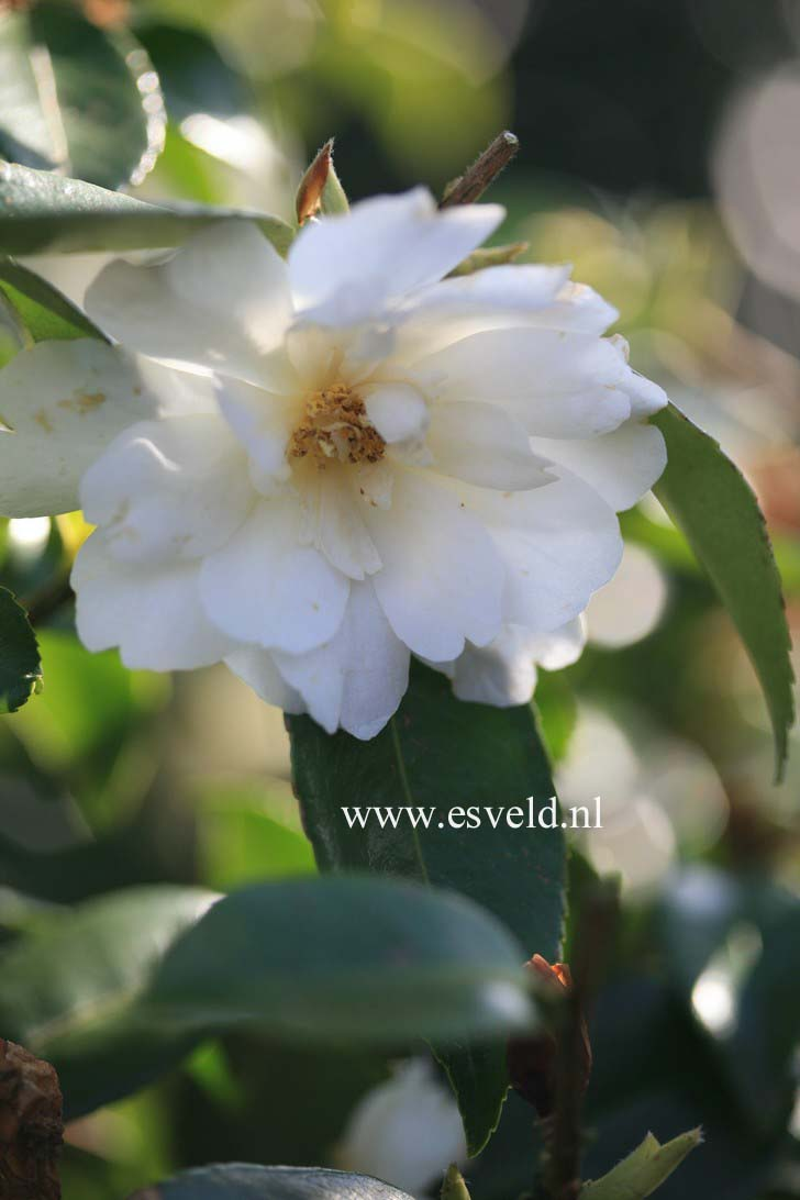 Camellia 'Winter's Waterlily'