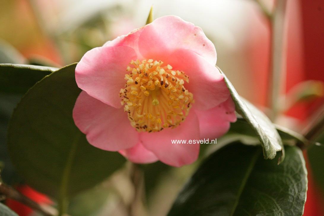 Camellia japonica 'Hi-no-tsuri'
