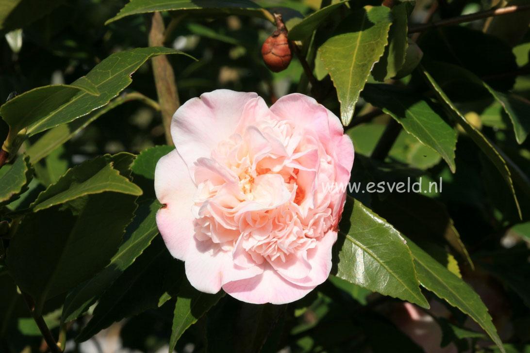 Camellia japonica 'High Fragrance'