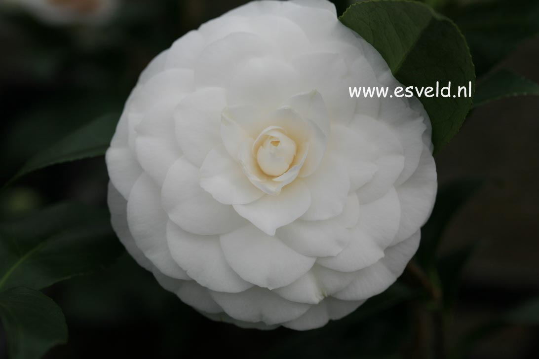 Camellia japonica 'Snow White'