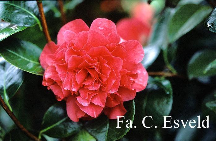 Camellia japonica 'Souvenir de Hubert Thoby'