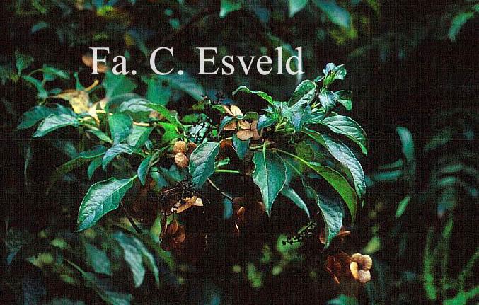 Hydrangea anomala