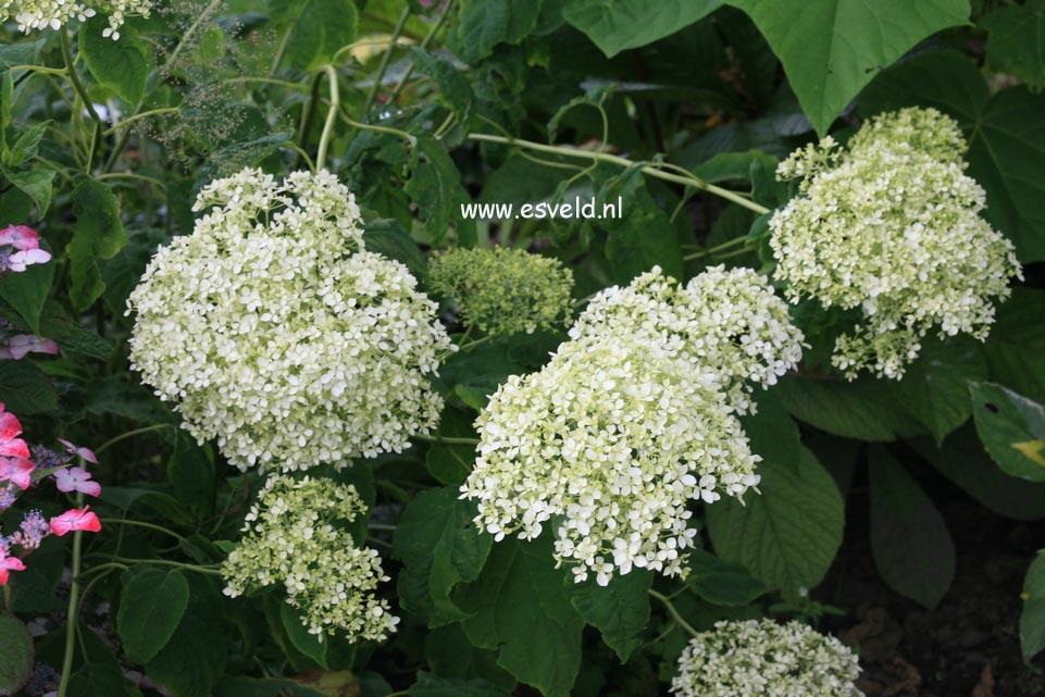 Hydrangea arborescens 'Puffed Green'