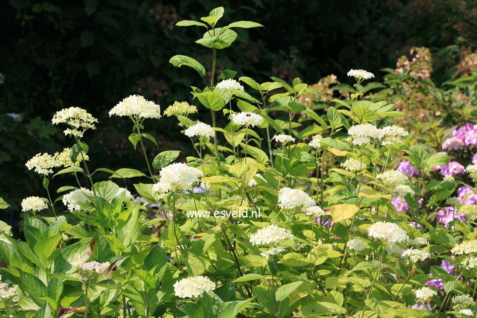 Hydrangea arborescens 'Winterthur'