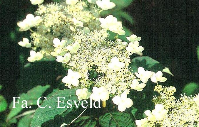 Hydrangea heteromalla 'Gidie'