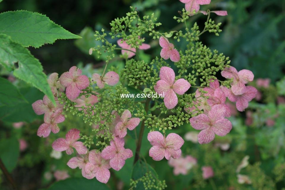Hydrangea heteromalla 'June Pink'