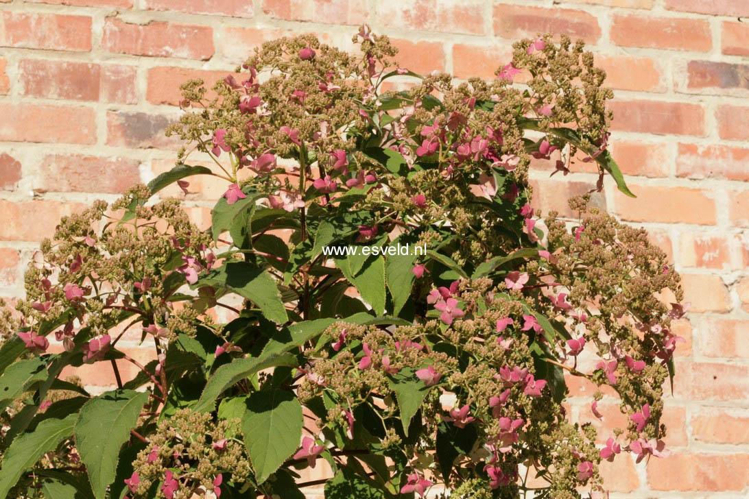 Hydrangea heteromalla 'Willy'