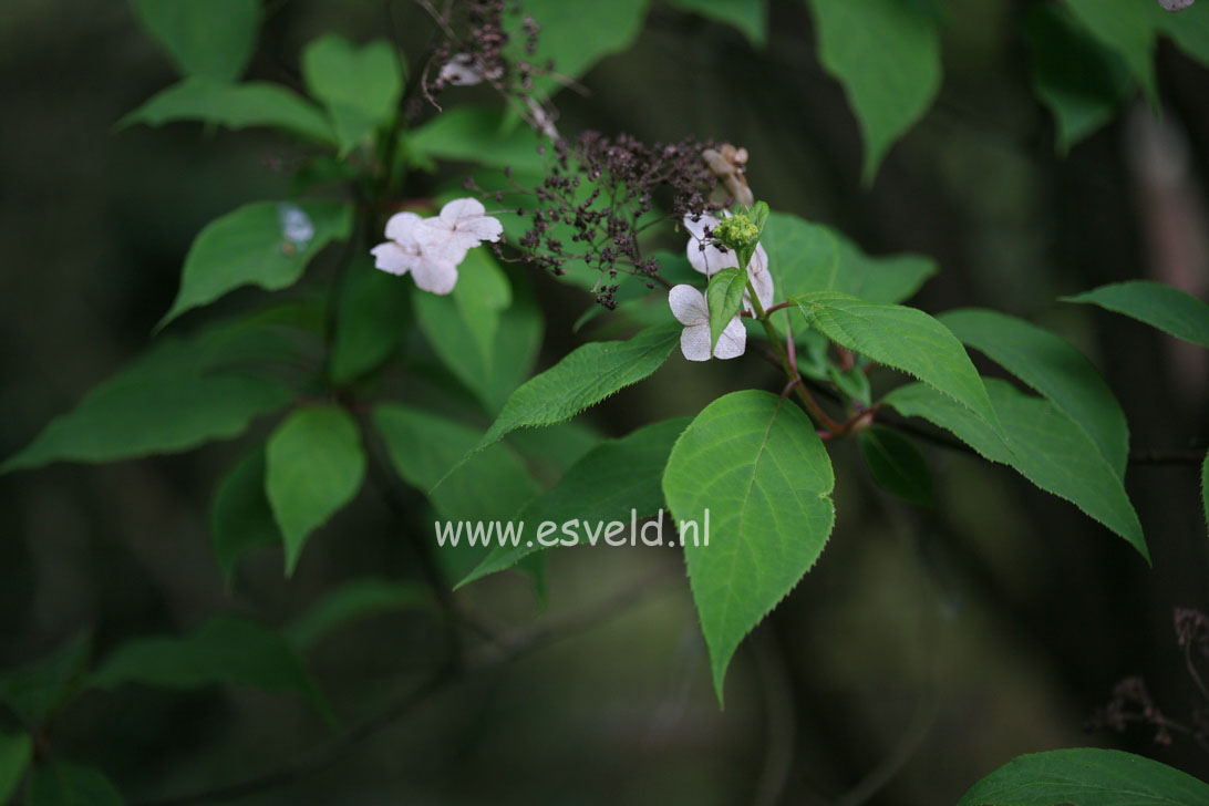 Hydrangea heteromalla f. xanthoneura