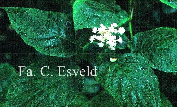 Hydrangea involucrata 'Hortensis'