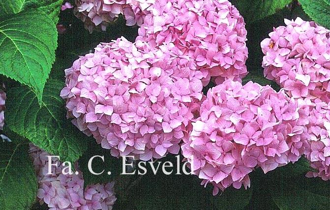 Hydrangea macrophylla 'Admiration'