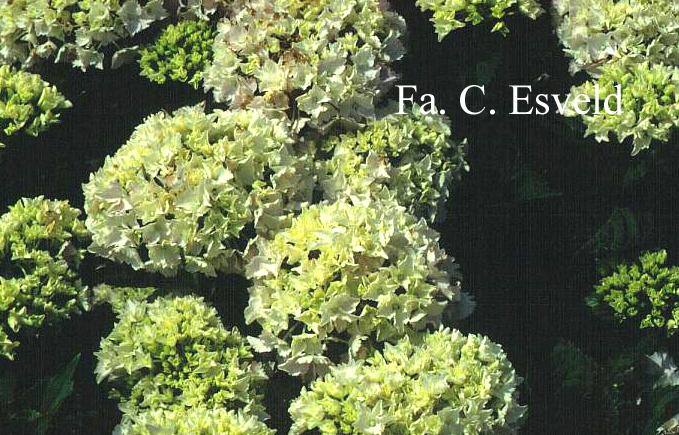 Hydrangea macrophylla 'Albrechtsburg'