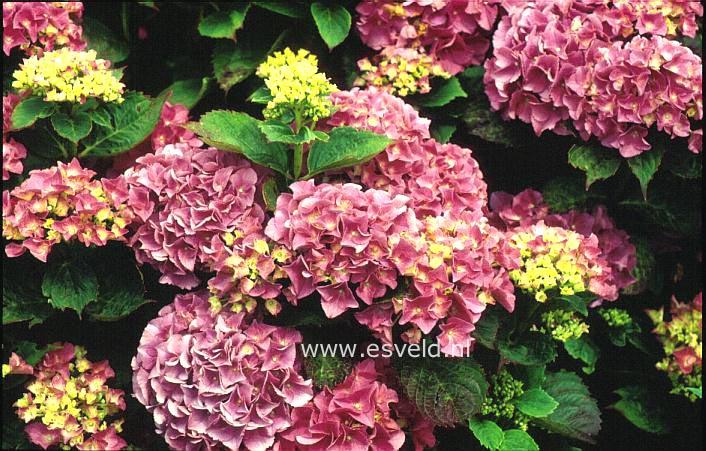 Hydrangea macrophylla 'Armand Draps'