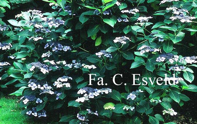 Hydrangea macrophylla 'Bleu Bleu Vasterival'