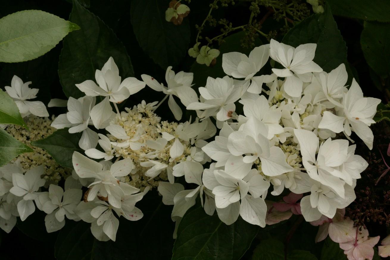 Hydrangea macrophylla 'Coco' (BEAUTENSIA)