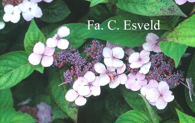 Hydrangea macrophylla 'Curtis Legacy'